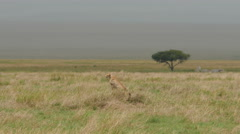 Cheetah sitting upright while looking for a prey in Serengeti Tanzania Stock Footage