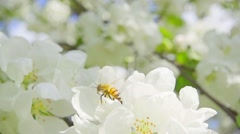 A bee collecting pollen from flowers of apple, slow motion Stock Footage