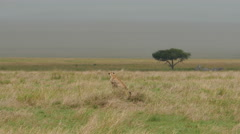 Cheetah sitting upright while looking for a prey in Serengeti Tanzania - stock footage