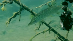 Northern pike (Esox lucius). Stock Footage