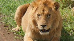 Big male lion resting and lying on the road in Tanzania - stock footage