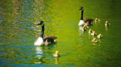 Goose Geese family Chicks learning the daily life in water in Spring Stock Footage