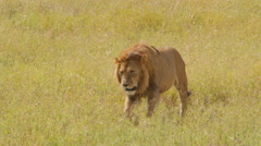 Male lion walks in the plains of Serengeti National Park Tanzania - 4K Stock Footage