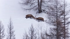 Stags fighting in the deep snow Stock Footage