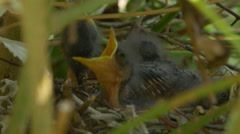 NEST FILLED WITH BABY BIRDS Stock Footage
