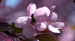 Bee collecting pollen from vivid pink tree flowers Stock Footage