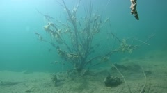 Flooded tree whose branches have grown with clams. Stock Footage