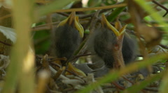 FOUR BABY BIRDS WAITING FOR FOOD Stock Footage