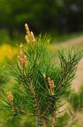 healthy cones of pine - stock photo