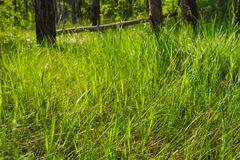 Green sunny grass of tranquil summer evening forest Stock Photos