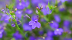 Macro shot of beautiful purple flowers of Lobelia, 4K video Stock Footage