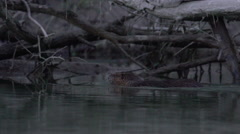 Coypu, River Rat, Nutria swiming on the Danube in the afternoon Stock Footage