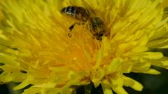 Bee  picking pollen on a dandelion bloom - stock footage