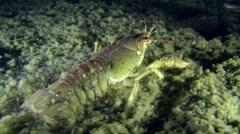 European crayfish (Astacus sp.). Stock Footage