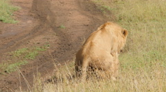 Male and female lions mating in the plains of Serengeti Tanzania - 4K Ultra HD Stock Footage