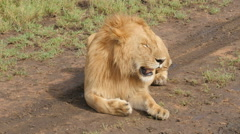 Big male lion resting and lying on the road in Tanzania Stock Footage