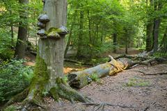 Fungus and moss growing on a tree trunk in a peaceful forest in the Ardennes, - stock photo