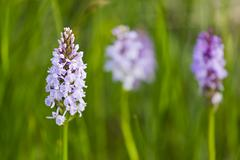 Lots of Orchids in the wide moor landscape of the High Fens, Eifel, Belgium. - stock photo