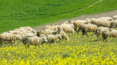Sheep graze on the rolling hills of Tuscany Stock Footage