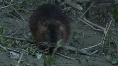 Coypu, River Rat, Nutria eating in the floodplain forest in the afternoon Stock Footage