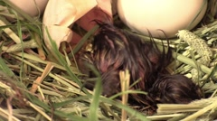 Baby mallard duck breaks free of egg Stock Footage