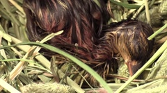 baby mallard duck trying to stand after hatching - stock footage