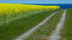 Yellow rapeseed field - stock footage