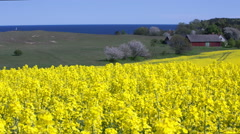 Yellow rapeseed field against a blue sky in the spring - stock footage