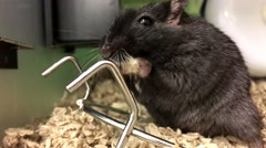 Funny mouse finding food to eat inside petsmart store Stock Footage