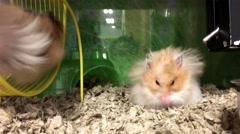 Funny mouse on wheel in cage inside petsmart store Stock Footage