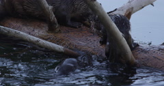 Mother otter keeps fish away from baby otters trying to take fish away on log Stock Footage