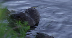 Baby otter plays near shore of pond and swims over to mother eating trout on log Stock Footage