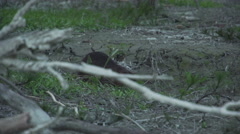 Coypu, River Rat, Nutria eating in the afternoon Stock Footage