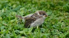 Young sparrow learning to fly on green grass Stock Footage