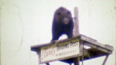 1964: Clark's Trading Post black bear performer waiting to walk tightrope. Stock Footage