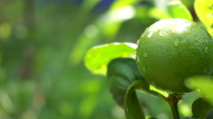 Close up of fresh limes on the tree - stock footage