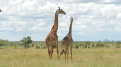 Giraffes mating in the green bush of Serengeti Tanzania - 4K Stock Footage