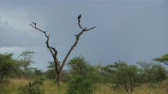 Lightning in the savanna plains of Serengeti with dead tree and vulture Stock Footage