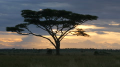 Large Acacia tree in the open savanna plains Serengeti Tanzania - 4K Stock Footage
