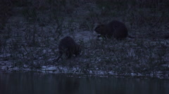 Two Coypus, River Rats, Nutrias eating on the Danube in the evening Stock Footage