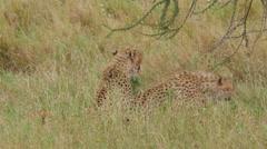 Cheetah subdues its prey in Serengeti National Park Tanzania - 4K Stock Footage
