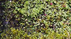 Alpine vegetation plants close up Stock Footage