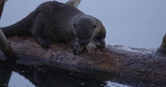 Closeup on otter finishing off a trout while in shadow on a log - stock footage