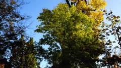 Tree with yellow leaves in fall Arkistovideo