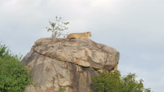 Lions on a rock in Serengeti National Park Tanzania Stock Footage