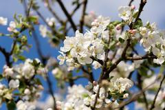 blooming flowering apple in spring - stock photo