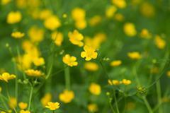 Marsh-marigold first yellow flowers spring Stock Photos