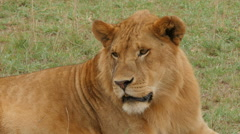 A Female lion is sitting in green grass and watching for animals to hunt - stock footage