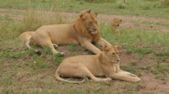 Male and female lion and a cub lying on the road in Serengeti Tanzania Stock Footage