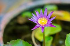 Pink Lotus flower and lotus leaf background - stock photo